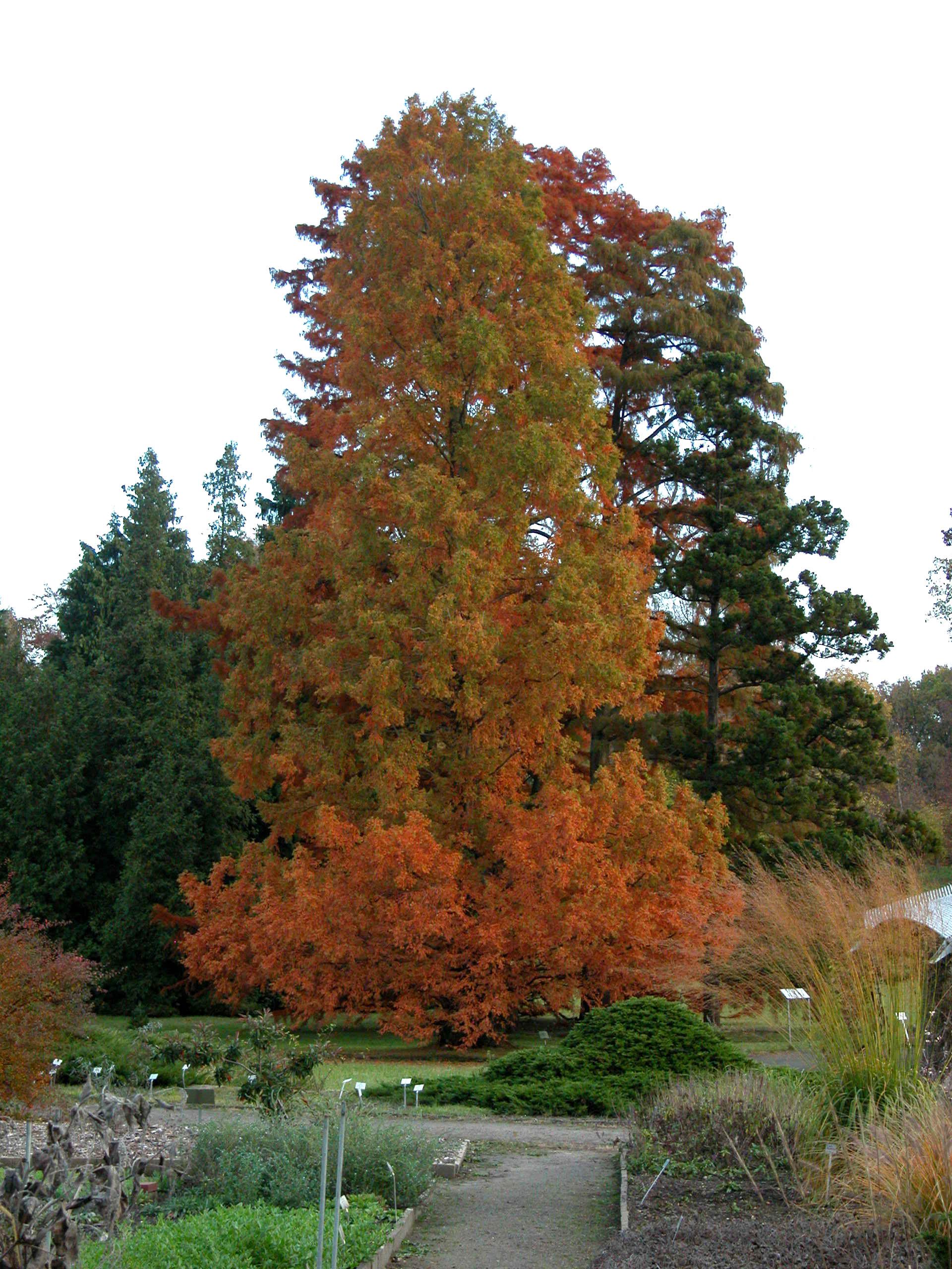 Chinesischer Urwelt-Mammutbaum (Metasequoia glyptostroboides) im Herbstlaub. Foto: I. Haas / Botanischer Garten und Botanisches Museum Berlin