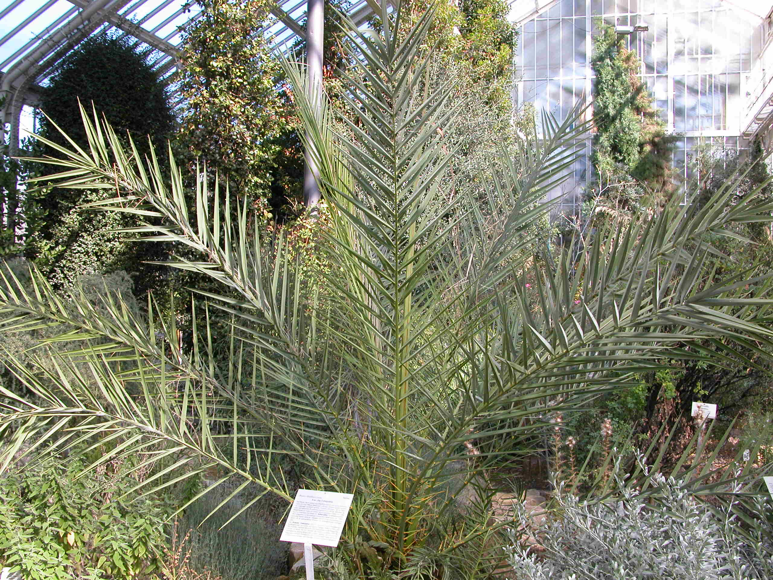 Kretische Dattelpalme (Phoenix theophrastii)