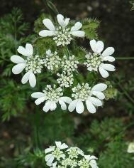 Orlaya grandiflora - Grossbluetiger Breitsame