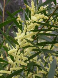 Langblättrige Akazie - Acacia longifolia var. longifolia