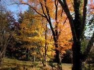 Rot Ahorn - Acer rubrum