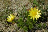 Frühlings-Adonisröschen - Adonis vernalis