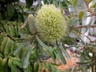 Ähnliche Banksie - Banksia aemula