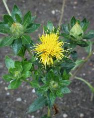 Färberdistel - Carthamus tinctorius