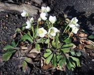 Christrose - Helleborus niger