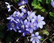 Leberblümchen - Hepatica nobilis