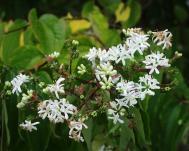 Sieben-Söhne-des-Himmels-Strauch - Heptacodium miconioides