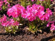 Rosenrote Schlüsselblume - Primula rosea