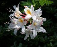Westliche Alpenrose - Rhododendron occidentale