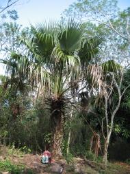 Die heute in El Salvador sehr seltene Fächerpalme Brahea salvadorensis. Sie ist eine der acht in El Salvador heimischen Palmenarten. Aus den Fasern werden Sonnenhüte hergestellt. Foto: Dagoberto Rodríguez