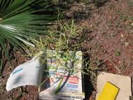 Die heute in El Salvador sehr seltene Fächerpalme Brahea salvadorensis. Der Blütenstand wird für einen Herbarbeleg gepresst und getrocknet.Diese Palme ist eine der acht in El Salvador heimischen Palmenarten.Aus den Fasern werden Sonnenhüte hergestellt. Fo