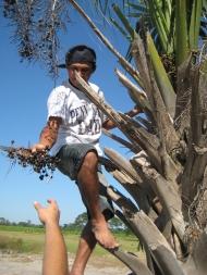 Ein Fruchtstand wird für das Herbar gesammelt. Die in El Salvador heimische Palme Sabal mexicana ist von Mexiko bis Nicaragua verbreitet. Sie ist eine der acht in El Salvador heimischen Palmenarten. Ihre Wedel werden zum Dachflechten verwendet. Foto: Anne