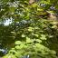 Kuchenbaum (Cercidiphyllum japanicum)